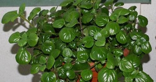El secreto de las plantas planta del dinero for Plantas de interior muy duraderas