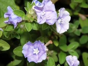 Bunga Jasmin (melor)