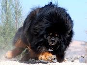 Tibetian Mustiff. This is the biggest Tibetian Mustif