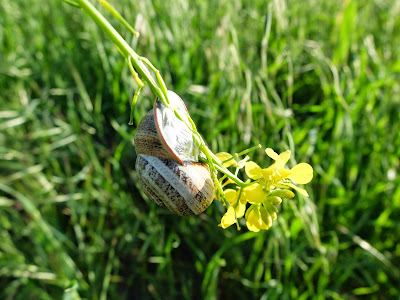 Snail Hanging on to Rapeseed Flower Stalk