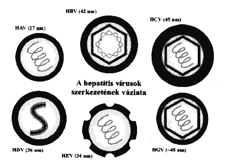 pharmapoint prophylactic hepatitis b virus vaccines Epidemiology and prevention of vaccine-preventable diseases  delta hepatitis  is an infection dependent on the hepatitis b virus (hbv) it may  of infants will  become infected in the absence of postexposure prophylaxis.
