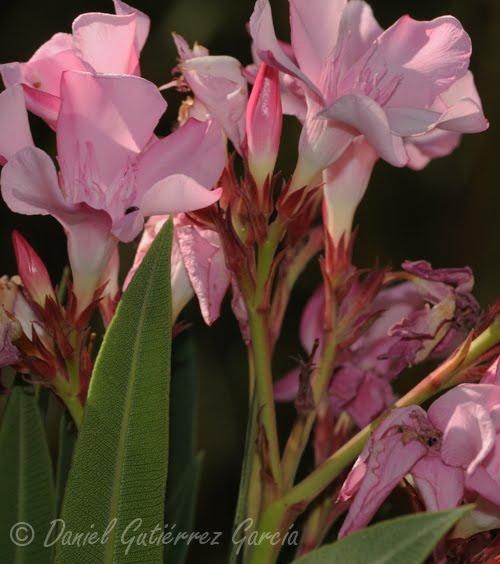 Naturaleza y fotograf a un arbusto de grandes y bellas flores - Lista nombre arbustos ...