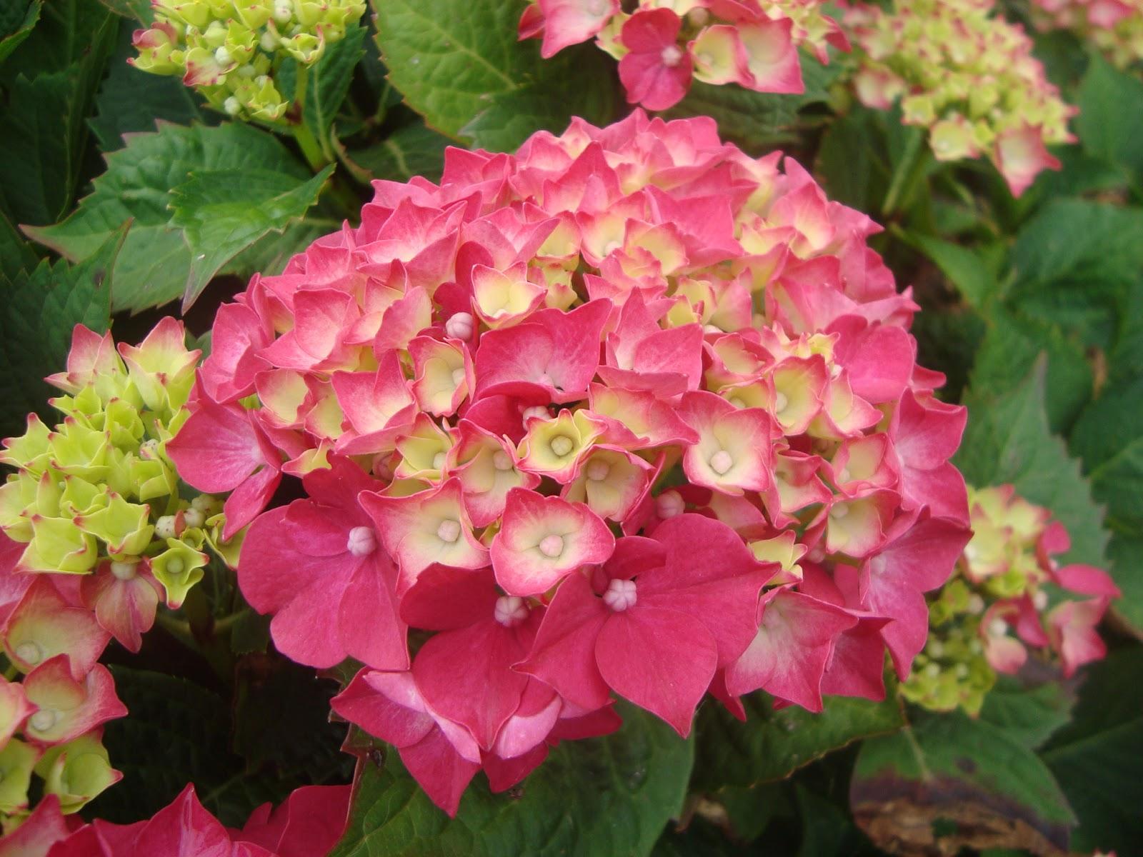 Floresamatxo todo sobre las flores consejos para cuidar - Cuidado de las hortensias ...