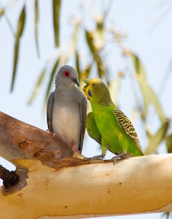 صور جديدة لطائر البادجي 1