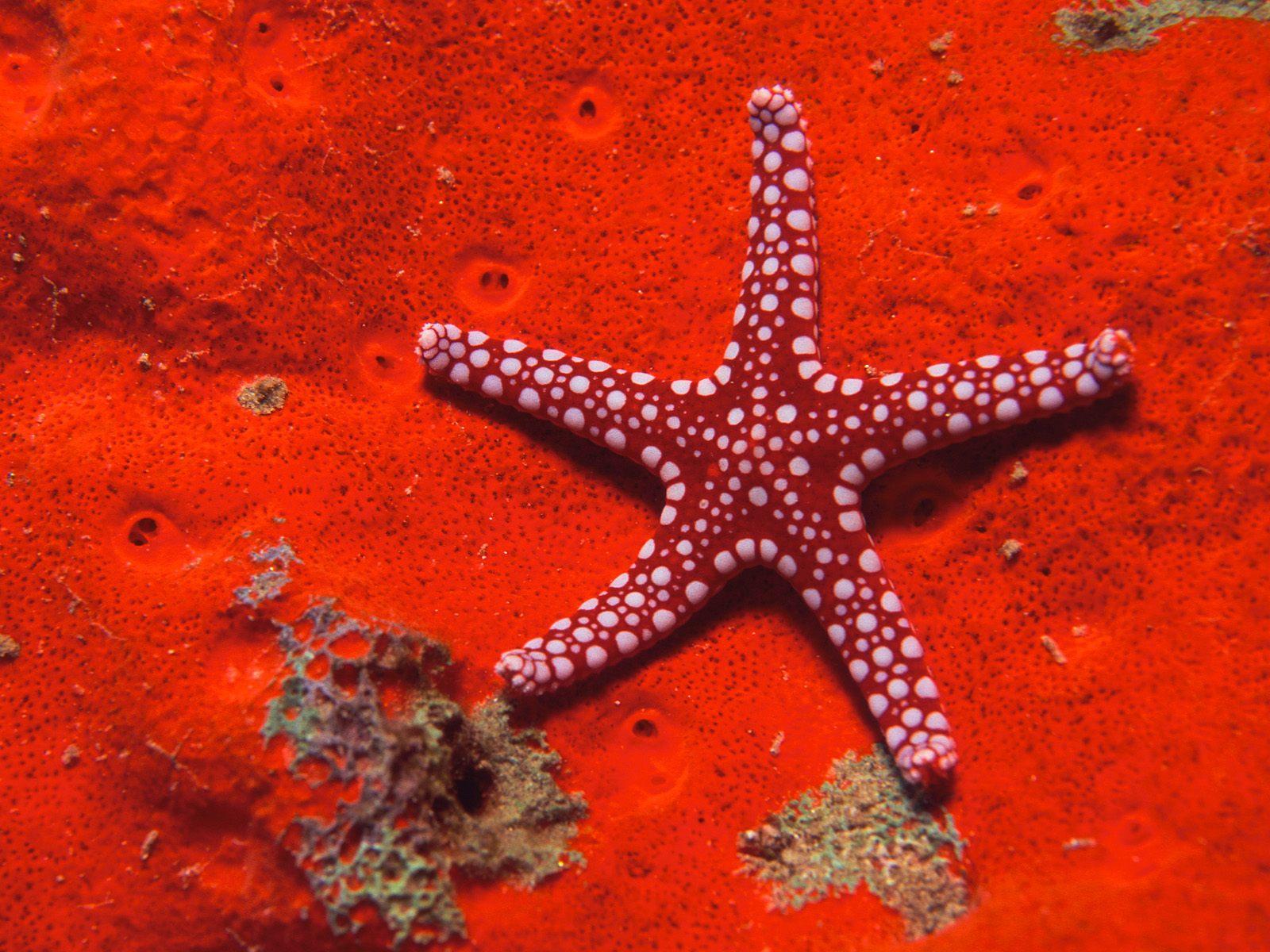 Red B Starfish