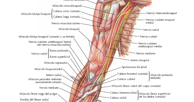 Resumen ramos terminales plexo braquial | Anatomia Blog