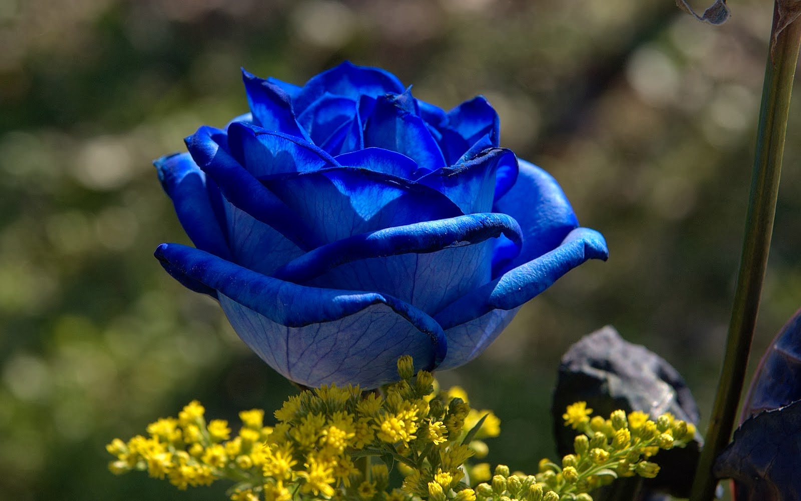 Real Blue Roses