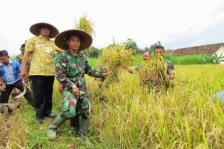 Menandai musim panen padi tahun ini, Komandan kodim 0710/Pekalongan bersama Muspika Karanganyar melakukan panen perdana diareal persawahan Desa Karangsari, Kecamatan karanganyar, Kabupaten Pekalongan, Rabu (11/3/15) lalu.