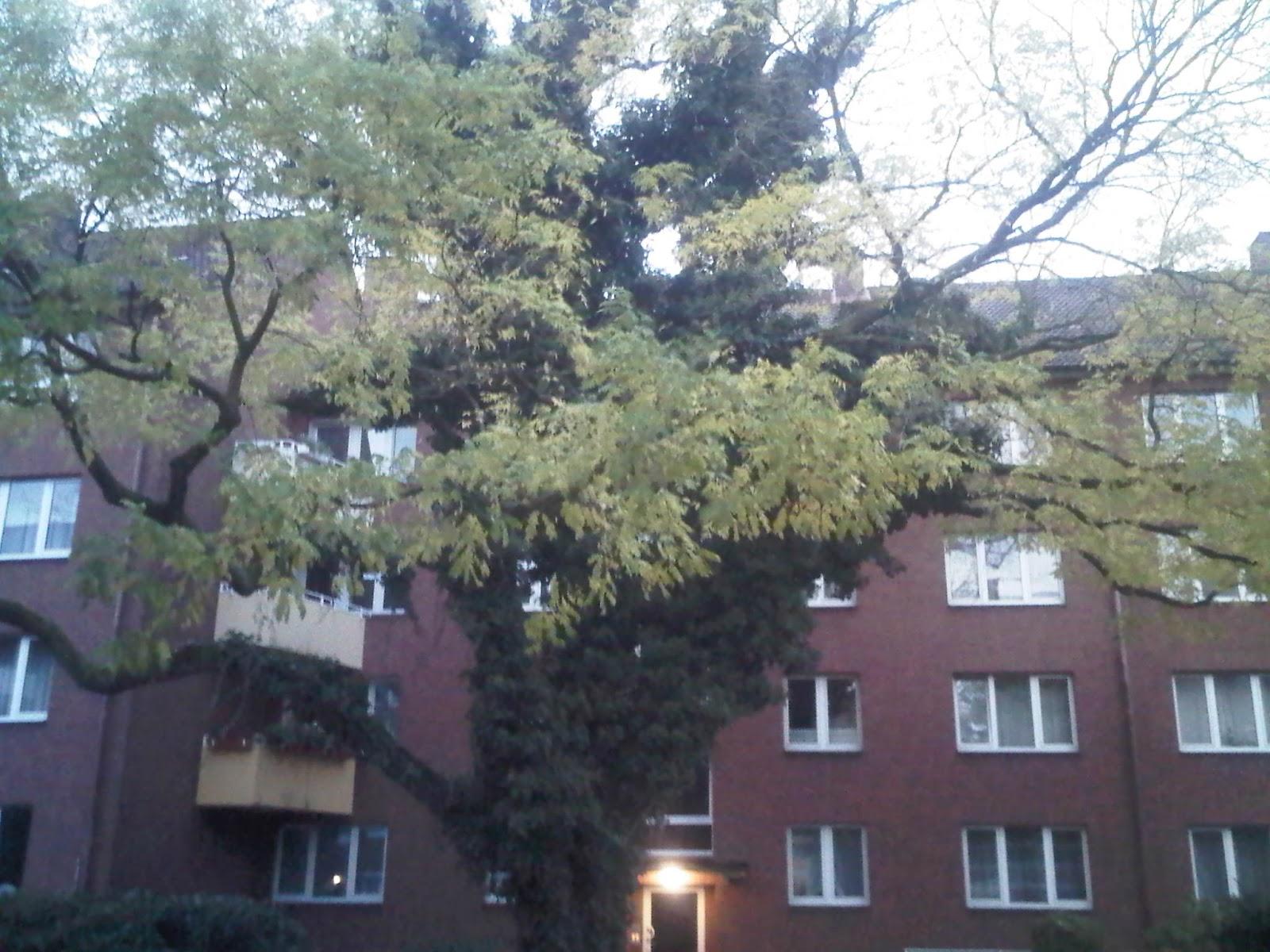 Schöner Baum im Wohngebiet - Klaus-Groth-Straße - Hamburg