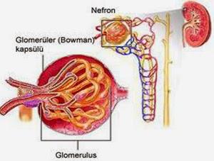 Obat Albuminuria Herbal