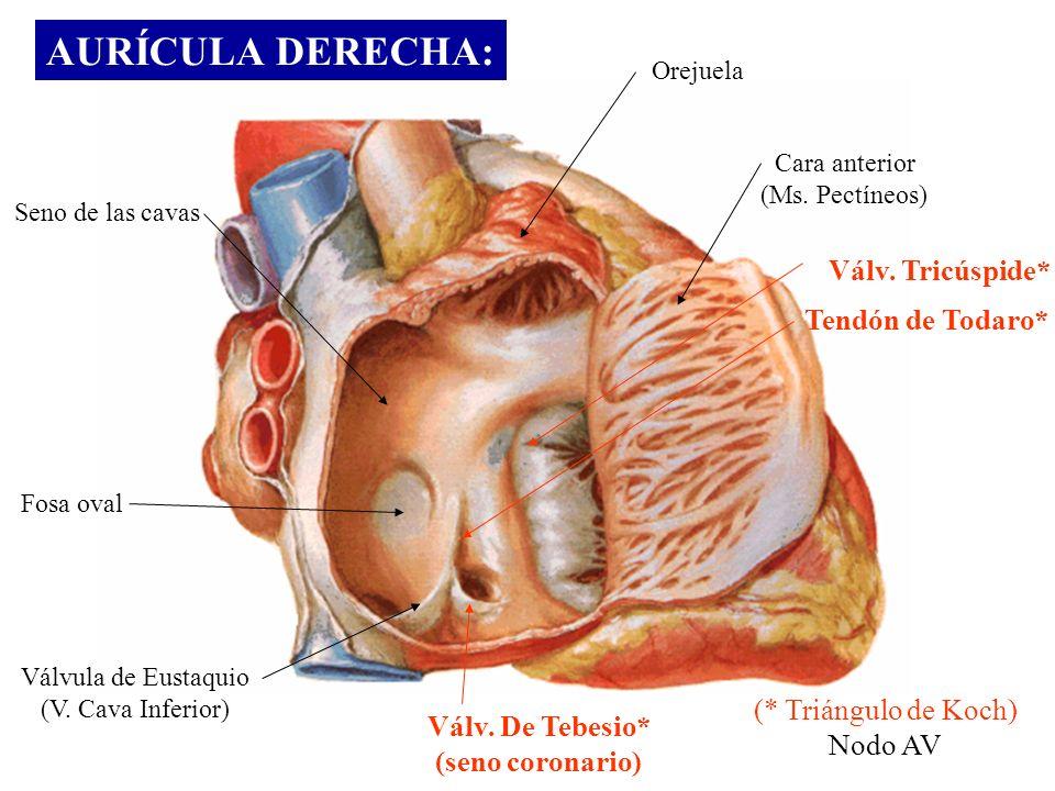 Lujo Tendón De Todaro La Anatomía Del Corazón Inspiración - Imágenes ...