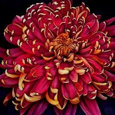 13th Anniversary Gift Chrysanthemum Flower