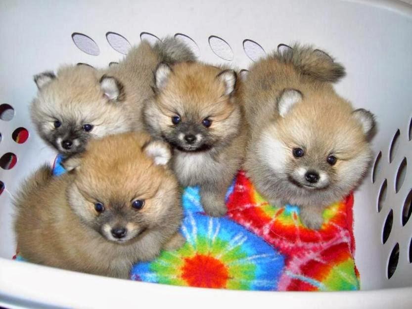Pomeranian Litter Size