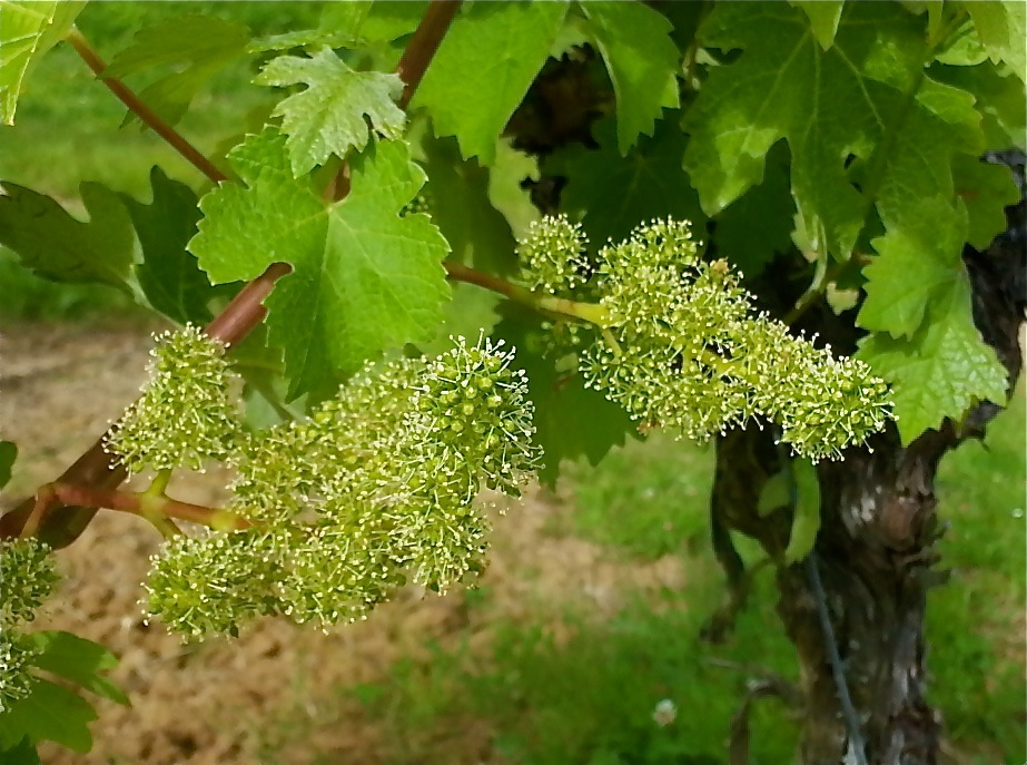 It's flowering in the vineyards.