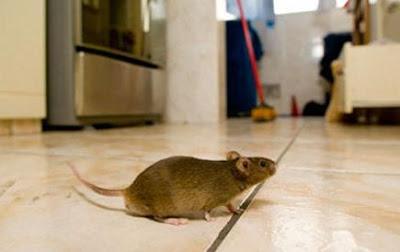 Cara Berkesan Halau Tikus