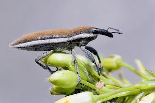 Para apliar Lixus albomarginatus (Gorgojo de bordes blancos) hacer clic