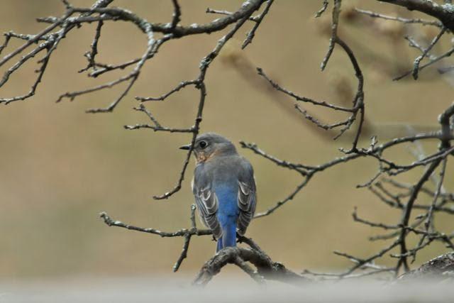 female bluebird in back yard oak tree