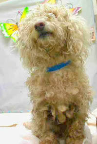 Haircut badly needed for bichon boy in a Southern CA kill shelter