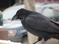 a raven in Anchorage