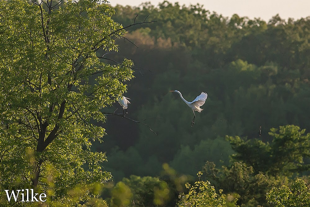 Great Egrets land in a tree.