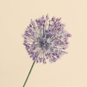 アリアムギガンチューム 紫 丸い花