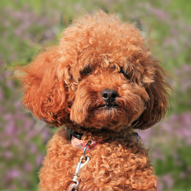 Dog Long Ears Curly Hair