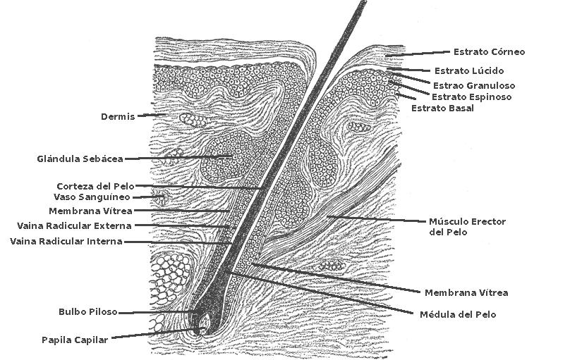 el moderno prometeo: Anexos cutáneos: Anatomía del Folículo Piloso