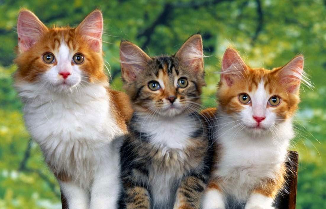 Kucing dan TOksoplasma pada Ibu Hamil