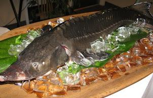 Cá Tầm Sống