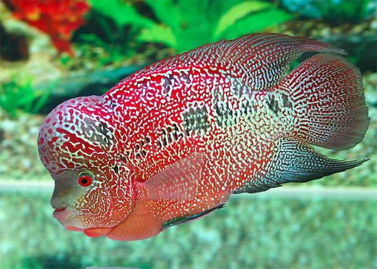 Flowerhorn the hybrid cichlids complete flowerhorn guide for Best fish to have as pets