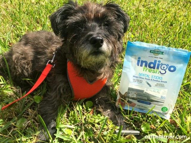 Oz the Terrier with PetSafe indigo Fresh Dental Stcks