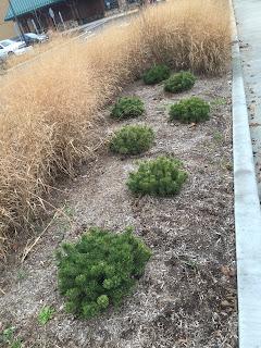 mugo pine in commercial landscape