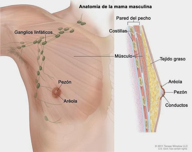 Anatomia-mama-masculina
