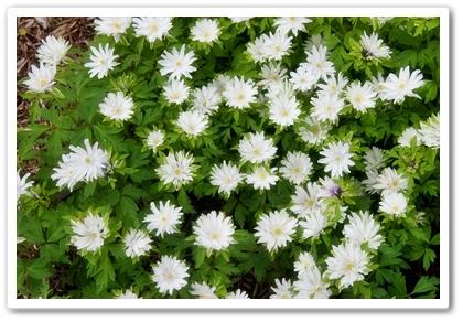 http://pnwplants.wsu.edu/PlantDisplay.aspx?PlantID=804