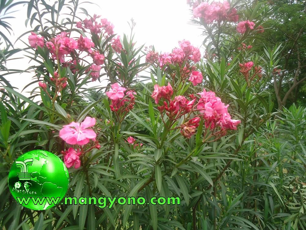 Tanaman Bunga Oleander tanaman yang mematikan
