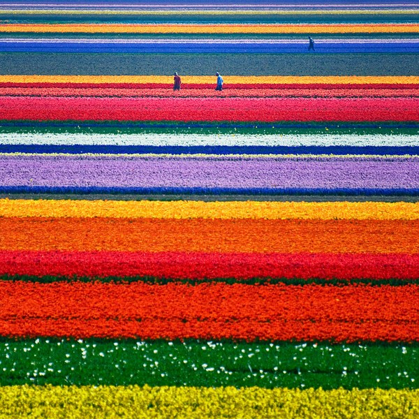 The Tulip Fields in the Netherlands