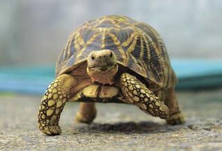 burmese starred tortoise