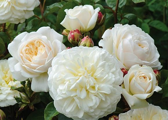 Tranquility rose сорт розы фото