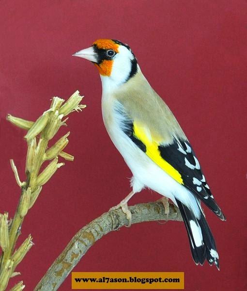 طائر الحسون , صور طائر الحسون
