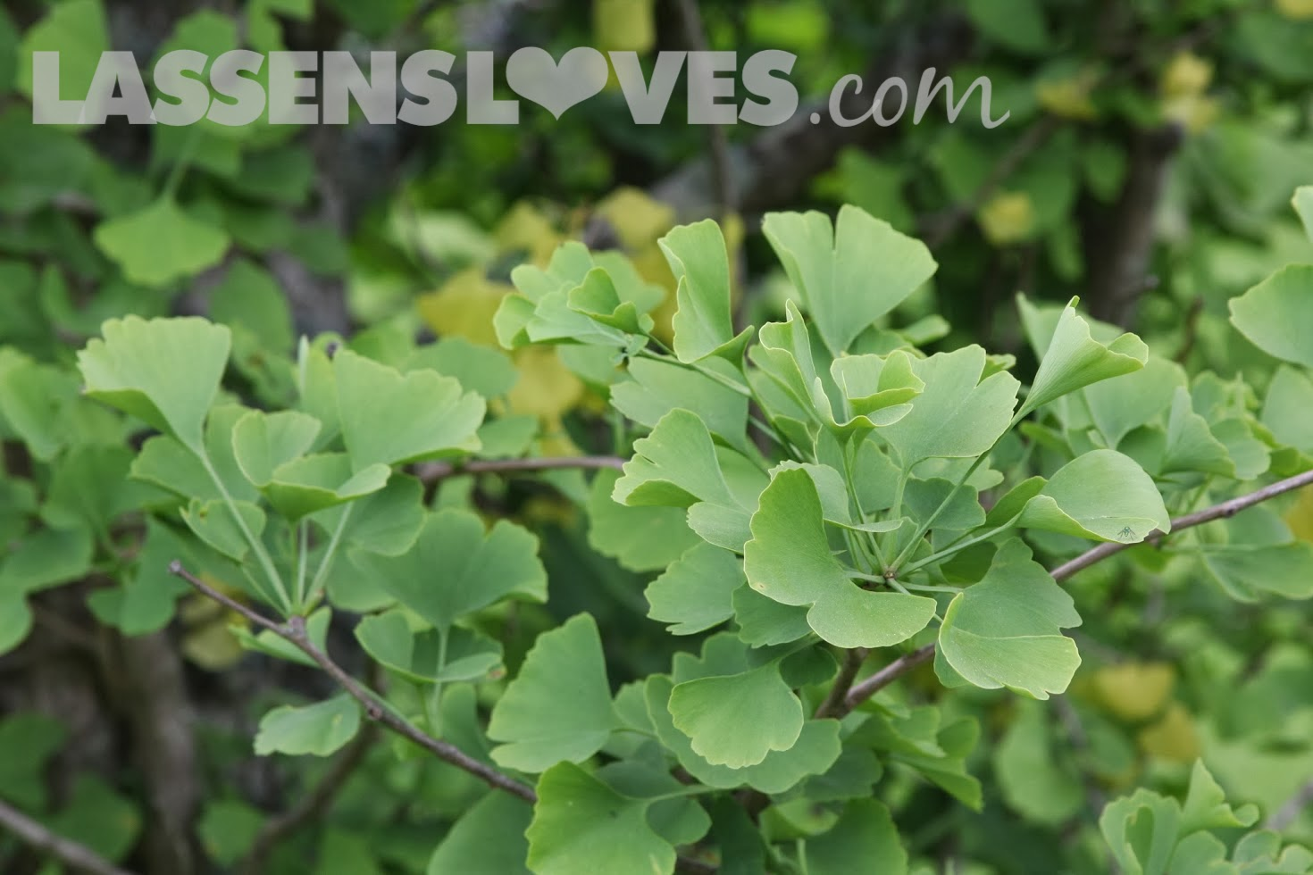 lassensloves.com, Lassen's, Lassens, Gaia+Herbs, Gingo, Mental+Alertness