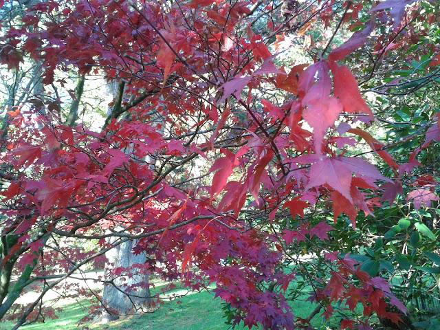 Acer Stourhead Gardens