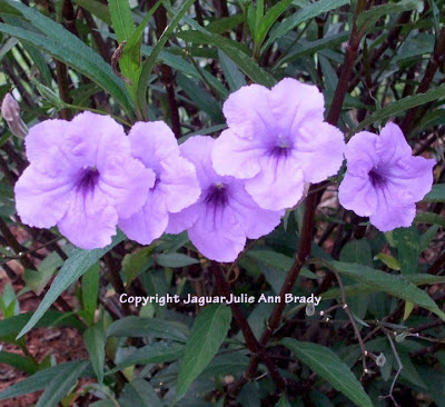 5 mexican petunia flower blossoms aka purple showers
