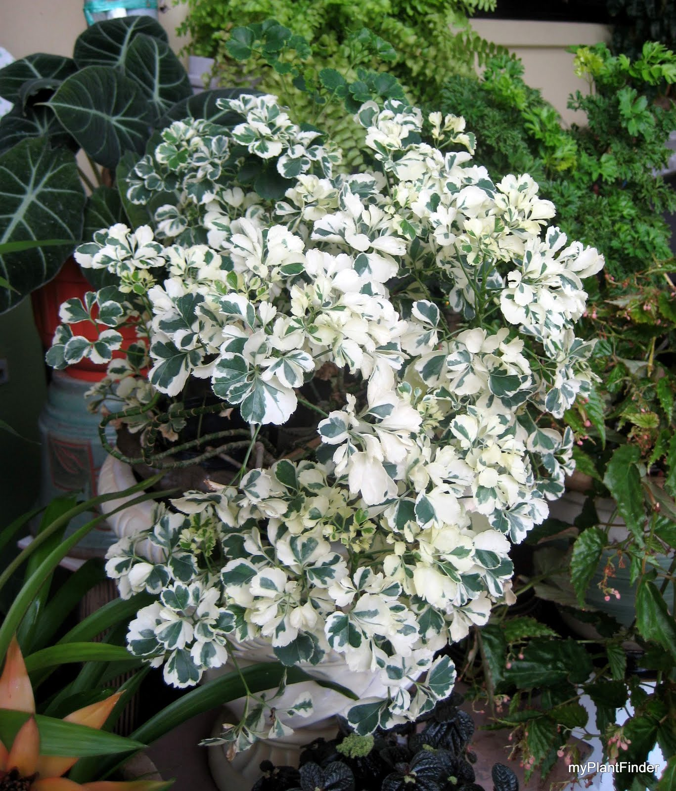 MY PLANT FINDER Plant Guide Polyscias 39Dwarf Variegata39