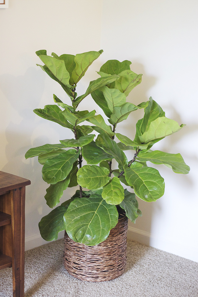 fiddle leaf plant, fiddle tree, ficus plant, house plant