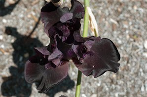 iris-before-storm-negro