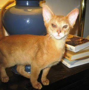 Encyclopedia of Cats Breed: Red Abyssinian Cat | Sorrel or Cinnamon | Usual Abyssinian Kittens