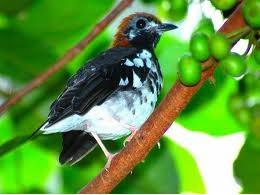 Cara Merawat Burung Anis Merah Maupun Anis Kembang