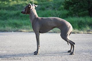 ABIGAIL Pustynny Wiatr Italian Greyhound