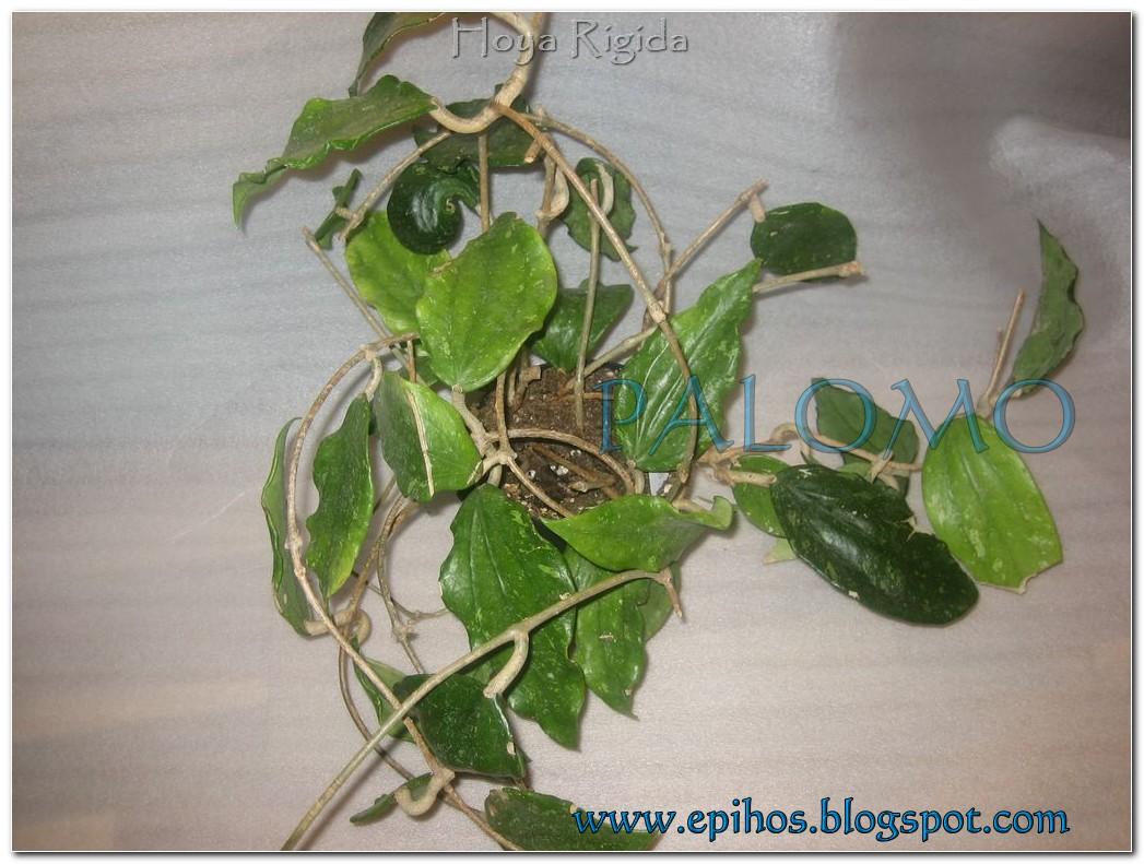 Epiphyllum Hoya Stapelia: Hoya Rigida