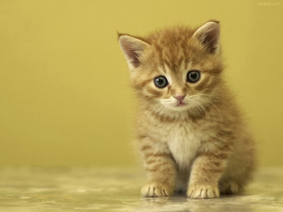 hình ảnh Avatar mèo con đẹp, dễ thương nhất, meo con de thuong